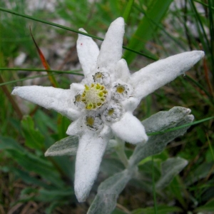 The way to the edelweiss kingdom